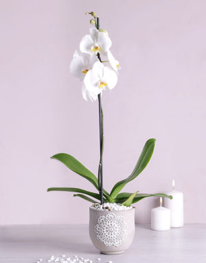 orchids Phalaenopsis Orchid in Doilie Pot
