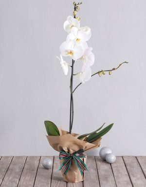 orchids White Phalaenopsis Orchid in Craft Paper