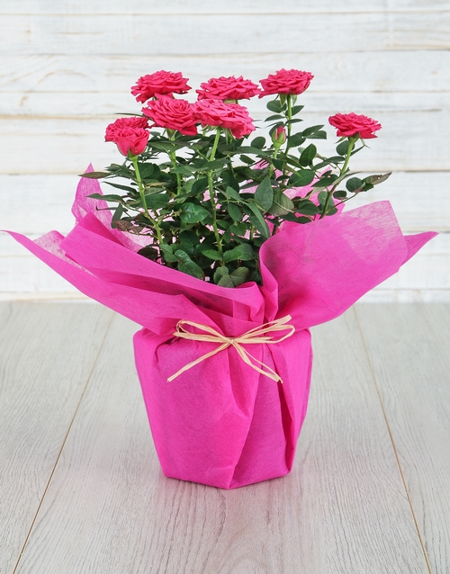 roses Cerise Rose Bush in Wrapping