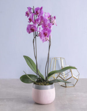 orchids  Pink Phalaenopsis Orchid in Pot