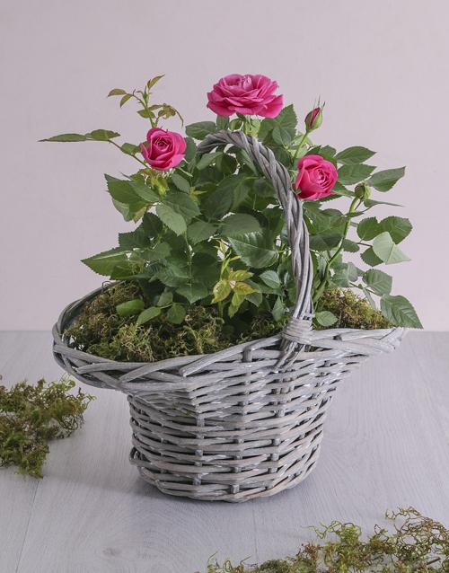 Rose Bush In A Basket