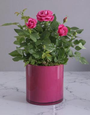 Cerise Rose Bush in Cylinder Glass Planter