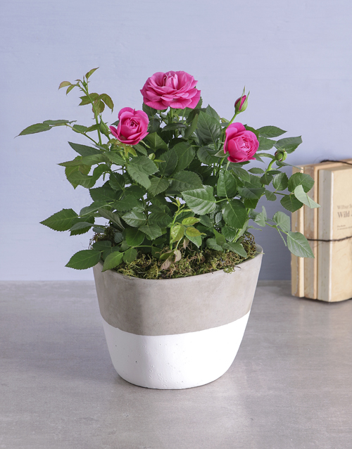 Cerise Rose Bush In Cement Feel Pot