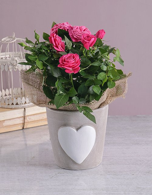 roses Heartfelt Rose Bush