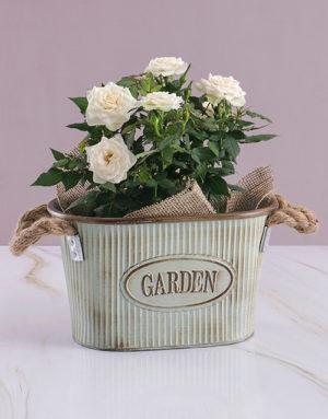 White Rose Bush Combo