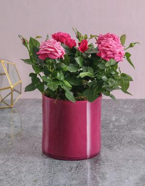 Pink on Pink Rose Bush