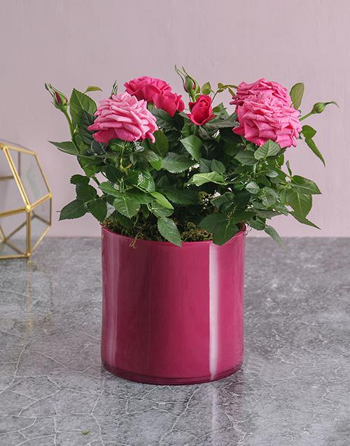 roses Pink on Pink Rose Bush