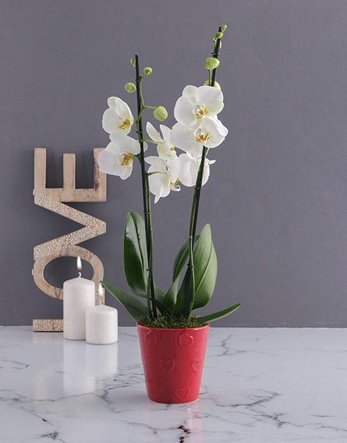 orchids White Orchid Love