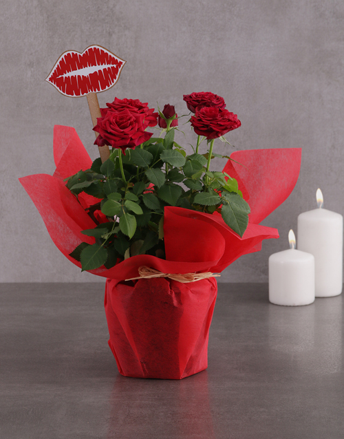 roses Red Rose Bush Kisses