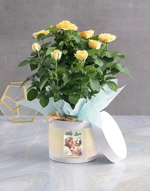 roses Yellow Rose Bush Arrangement