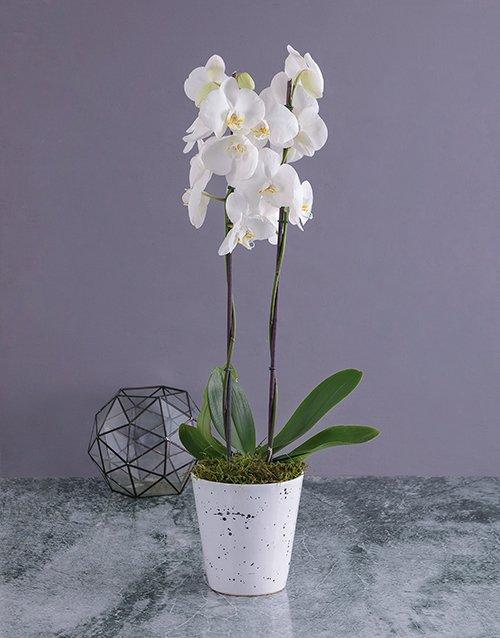 orchids Modern Phalaenopsis Orchid in Splash Pot