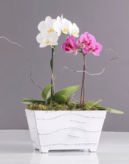 orchids Pink And White Orchids In A Ceramic Tub