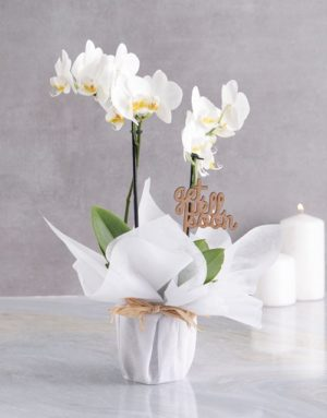 orchids White Midi Orchid Of Wellness In Wrapping