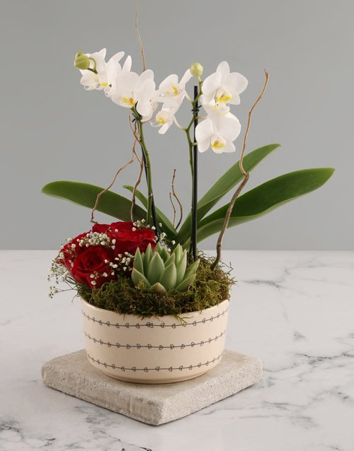 orchids White Midi Orchid and Rock Rose Succulent
