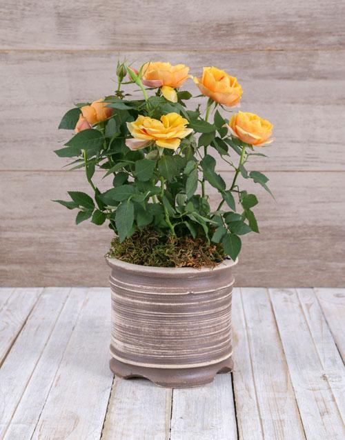 roses Gratitude Yellow Rose Bush In Ceramic Pot
