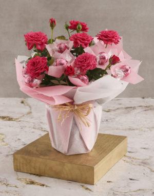 roses Cerise Rose Bush And Chocolates