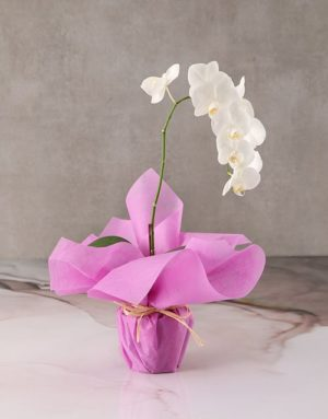 orchids Serene Pink Midi Orchid