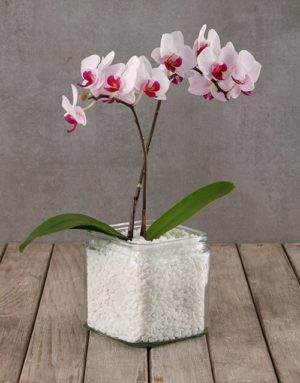 orchids Soothing Midi Orchid