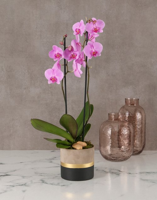 orchids Polished Orchid In Gold Striped Pot