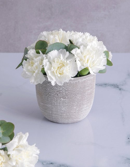 sympathy Immaculate White Carnations in a Pot