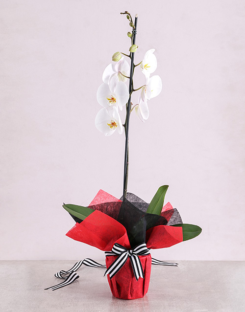 orchids White Phalaenopsis Orchid Romance